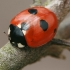 Penkiataškė boružė - Coccinella quinquepunctata | Fotografijos autorius : Gintautas Steiblys | © Macrogamta.lt | Šis tinklapis priklauso bendruomenei kuri domisi makro fotografija ir fotografuoja gyvąjį makro pasaulį.