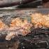 Spindulinis raukšliagrybis - Phlebia radiata | Fotografijos autorius : Vytautas Gluoksnis | © Macrogamta.lt | Šis tinklapis priklauso bendruomenei kuri domisi makro fotografija ir fotografuoja gyvąjį makro pasaulį.