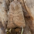 Pietinis dykrinukas - Hoplodrina cf. ambigua | Fotografijos autorius : Žilvinas Pūtys | © Macrogamta.lt | Šis tinklapis priklauso bendruomenei kuri domisi makro fotografija ir fotografuoja gyvąjį makro pasaulį.