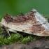 Pietinis kupriukas - Ptilodon cucullina | Fotografijos autorius : Žilvinas Pūtys | © Macrogamta.lt | Šis tinklapis priklauso bendruomenei kuri domisi makro fotografija ir fotografuoja gyvąjį makro pasaulį.