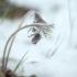 Pievinė šilagėlė - Pulsatilla pratensis | Fotografijos autorius : Vidas Brazauskas | © Macrogamta.lt | Šis tinklapis priklauso bendruomenei kuri domisi makro fotografija ir fotografuoja gyvąjį makro pasaulį.