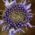 Pievinė miegalė - Succisa pratensis | Fotografijos autorius : Ramunė Vakarė | © Macrogamta.lt | Šis tinklapis priklauso bendruomenei kuri domisi makro fotografija ir fotografuoja gyvąjį makro pasaulį.