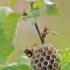 Pievinė popiervapsvė - Polistes nimpha | Fotografijos autorius : Agnė Našlėnienė | © Macrogamta.lt | Šis tinklapis priklauso bendruomenei kuri domisi makro fotografija ir fotografuoja gyvąjį makro pasaulį.