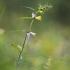 Pievinis kūpolis – Melampyrum pratense | Fotografijos autorius : Agnė Našlėnienė | © Macrogamta.lt | Šis tinklapis priklauso bendruomenei kuri domisi makro fotografija ir fotografuoja gyvąjį makro pasaulį.