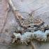 Pilkajuostė cidarija - Xanthorhoe biriviata | Fotografijos autorius : Arūnas Eismantas | © Macrogamta.lt | Šis tinklapis priklauso bendruomenei kuri domisi makro fotografija ir fotografuoja gyvąjį makro pasaulį.