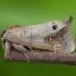 Pilkoji kliostera - Clostera anachoreta | Fotografijos autorius : Žilvinas Pūtys | © Macrogamta.lt | Šis tinklapis priklauso bendruomenei kuri domisi makro fotografija ir fotografuoja gyvąjį makro pasaulį.