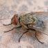 Pilkoji lavonmusė - Pollenia sp. | Fotografijos autorius : Gintautas Steiblys | © Macrogamta.lt | Šis tinklapis priklauso bendruomenei kuri domisi makro fotografija ir fotografuoja gyvąjį makro pasaulį.