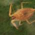 Pilkoji skorpionblakė - Nepa cinerea, nimfa | Fotografijos autorius : Gintautas Steiblys | © Macrogamta.lt | Šis tinklapis priklauso bendruomenei kuri domisi makro fotografija ir fotografuoja gyvąjį makro pasaulį.