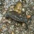 Pilkoji skorpionblakė - Nepa cinerea | Fotografijos autorius : Kazimieras Martinaitis | © Macrogamta.lt | Šis tinklapis priklauso bendruomenei kuri domisi makro fotografija ir fotografuoja gyvąjį makro pasaulį.