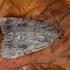 Piramidinis tamsusis pelėdgalvis - Amphipyra pyramidea | Fotografijos autorius : Žilvinas Pūtys | © Macrogamta.lt | Šis tinklapis priklauso bendruomenei kuri domisi makro fotografija ir fotografuoja gyvąjį makro pasaulį.