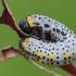 Raugerškinis pjūklelis - Arge berberidis, lerva | Fotografijos autorius : Gintautas Steiblys | © Macrogamta.lt | Šis tinklapis priklauso bendruomenei kuri domisi makro fotografija ir fotografuoja gyvąjį makro pasaulį.