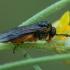 Pjūklelis - Athalia bicolor ♀ | Fotografijos autorius : Žilvinas Pūtys | © Macrogamta.lt | Šis tinklapis priklauso bendruomenei kuri domisi makro fotografija ir fotografuoja gyvąjį makro pasaulį.