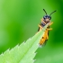 Pjūklelis | Athalia cf. bicolor | Fotografijos autorius : Darius Baužys | © Macrogamta.lt | Šis tinklapis priklauso bendruomenei kuri domisi makro fotografija ir fotografuoja gyvąjį makro pasaulį.