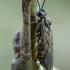 Pjūklelis - Empria candidata ♀ | Fotografijos autorius : Žilvinas Pūtys | © Macrogamta.lt | Šis tinklapis priklauso bendruomenei kuri domisi makro fotografija ir fotografuoja gyvąjį makro pasaulį.