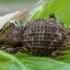 Pjovėjas - Otiorhynchus scaber | Fotografijos autorius : Žilvinas Pūtys | © Macrogamta.lt | Šis tinklapis priklauso bendruomenei kuri domisi makro fotografija ir fotografuoja gyvąjį makro pasaulį.