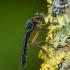Plėšriamusė - Dioctria cothurnata ♀ | Fotografijos autorius : Žilvinas Pūtys | © Macrogamta.lt | Šis tinklapis priklauso bendruomenei kuri domisi makro fotografija ir fotografuoja gyvąjį makro pasaulį.