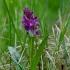 Plačialapė gegūnė - Dactylorhiza majalis  | Fotografijos autorius : Romas Ferenca | © Macrogamta.lt | Šis tinklapis priklauso bendruomenei kuri domisi makro fotografija ir fotografuoja gyvąjį makro pasaulį.