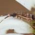Podūra - Orchesella flavescens | Fotografijos autorius : Žilvinas Pūtys | © Macrogamta.lt | Šis tinklapis priklauso bendruomenei kuri domisi makro fotografija ir fotografuoja gyvąjį makro pasaulį.