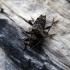 Dygliasparnis žabinukas - Pogonocherus hispidus | Fotografijos autorius : Vitalii Alekseev | © Macrogamta.lt | Šis tinklapis priklauso bendruomenei kuri domisi makro fotografija ir fotografuoja gyvąjį makro pasaulį.