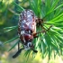 Polyphilla fullo (Linnaeus, 1758) | Fotografijos autorius : Vitalii Alekseev | © Macrogamta.lt | Šis tinklapis priklauso bendruomenei kuri domisi makro fotografija ir fotografuoja gyvąjį makro pasaulį.