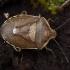 Pušinė skydblakė - Chlorochroa pinicola | Fotografijos autorius : Žilvinas Pūtys | © Macrogamta.lt | Šis tinklapis priklauso bendruomenei kuri domisi makro fotografija ir fotografuoja gyvąjį makro pasaulį.