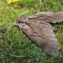 Pušinis sfinksas - Sphinx (=Hyloicus) pinastri | Fotografijos autorius : Agnė Našlėnienė | © Macrogamta.lt | Šis tinklapis priklauso bendruomenei kuri domisi makro fotografija ir fotografuoja gyvąjį makro pasaulį.
