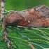 Pušinis verpikas - Dendrolimus pini ♂ | Fotografijos autorius : Gintautas Steiblys | © Macrogamta.lt | Šis tinklapis priklauso bendruomenei kuri domisi makro fotografija ir fotografuoja gyvąjį makro pasaulį.