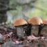 Pušyninis raudonviršis - Leccinum vulpinum | Fotografijos autorius : Agnė Našlėnienė | © Macrogamta.lt | Šis tinklapis priklauso bendruomenei kuri domisi makro fotografija ir fotografuoja gyvąjį makro pasaulį.