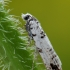 Puošnioji eukosma - Eucosma campoliliana | Fotografijos autorius : Arūnas Eismantas | © Macrogamta.lt | Šis tinklapis priklauso bendruomenei kuri domisi makro fotografija ir fotografuoja gyvąjį makro pasaulį.