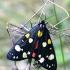 Puošnioji meškutė - Callimorpha dominula | Fotografijos autorius : Romas Ferenca | © Macrogamta.lt | Šis tinklapis priklauso bendruomenei kuri domisi makro fotografija ir fotografuoja gyvąjį makro pasaulį.