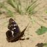 Puošnioji vaiva - Apatura ilia | Fotografijos autorius : Vidas Brazauskas | © Macrogamta.lt | Šis tinklapis priklauso bendruomenei kuri domisi makro fotografija ir fotografuoja gyvąjį makro pasaulį.