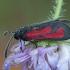 Purpurinis marguolis - Zygaena purpuralis | Fotografijos autorius : Žilvinas Pūtys | © Macrogamta.lt | Šis tinklapis priklauso bendruomenei kuri domisi makro fotografija ir fotografuoja gyvąjį makro pasaulį.