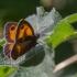Ugninis satyras - Pyronia tithonus | Fotografijos autorius : Eglė Vičiuvienė | © Macrogamta.lt | Šis tinklapis priklauso bendruomenei kuri domisi makro fotografija ir fotografuoja gyvąjį makro pasaulį.