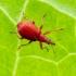 Rūgštyninis apionas || Apion frumentarium (=miniatum) | Fotografijos autorius : Darius Baužys | © Macrogamta.lt | Šis tinklapis priklauso bendruomenei kuri domisi makro fotografija ir fotografuoja gyvąjį makro pasaulį.