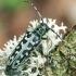 Raštuotasis drebulenis - Saperda scalaris | Fotografijos autorius : Gintautas Steiblys | © Macrogamta.lt | Šis tinklapis priklauso bendruomenei kuri domisi makro fotografija ir fotografuoja gyvąjį makro pasaulį.