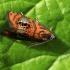 Raštuotasis oletreutas - Olethreutes arcuella | Fotografijos autorius : Ramunė Vakarė | © Macrogamta.lt | Šis tinklapis priklauso bendruomenei kuri domisi makro fotografija ir fotografuoja gyvąjį makro pasaulį.