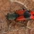 Raštuotasis pūsliavabalis - Anthocomus equestris ♂ | Fotografijos autorius : Žilvinas Pūtys | © Macrogamta.lt | Šis tinklapis priklauso bendruomenei kuri domisi makro fotografija ir fotografuoja gyvąjį makro pasaulį.