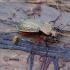 Raudonšlaunis puošniažygis - Carabus cancellatus   Fotografijos autorius : Romas Ferenca   © Macrogamta.lt   Šis tinklapis priklauso bendruomenei kuri domisi makro fotografija ir fotografuoja gyvąjį makro pasaulį.