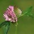Raudonasis dobilas - Trifolium pratense | Fotografijos autorius : Gintautas Steiblys | © Macrogamta.lt | Šis tinklapis priklauso bendruomenei kuri domisi makro fotografija ir fotografuoja gyvąjį makro pasaulį.