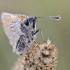 Raudonbuožis arba geltonasis storgalvis | Fotografijos autorius : Darius Baužys | © Macrogamta.lt | Šis tinklapis priklauso bendruomenei kuri domisi makro fotografija ir fotografuoja gyvąjį makro pasaulį.