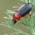 Raudonkrūtinis šukažygis - Calathus melanocephalus | Fotografijos autorius : Gintautas Steiblys | © Macrogamta.lt | Šis tinklapis priklauso bendruomenei kuri domisi makro fotografija ir fotografuoja gyvąjį makro pasaulį.