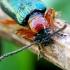 Raudonkrūtis smilginukas  - Oulema melanopus ♀ | Fotografijos autorius : Romas Ferenca | © Macrogamta.lt | Šis tinklapis priklauso bendruomenei kuri domisi makro fotografija ir fotografuoja gyvąjį makro pasaulį.