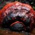 Raudonkraštė pintainė - Fomitopsis pinicola | Fotografijos autorius : Aleksandras Stabrauskas | © Macrogamta.lt | Šis tinklapis priklauso bendruomenei kuri domisi makro fotografija ir fotografuoja gyvąjį makro pasaulį.