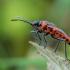 Raudonmargė kampuotblakė - Corizus hyoscyami | Fotografijos autorius : Oskaras Venckus | © Macrogamta.lt | Šis tinklapis priklauso bendruomenei kuri domisi makro fotografija ir fotografuoja gyvąjį makro pasaulį.