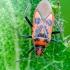 Raudonmargė kampuotblakė | Fotografijos autorius : Darius Baužys | © Macrogamta.lt | Šis tinklapis priklauso bendruomenei kuri domisi makro fotografija ir fotografuoja gyvąjį makro pasaulį.