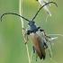 Raudonasis žieduolis - Stictopleura rubra ♂ | Fotografijos autorius : Gintautas Steiblys | © Macrogamta.lt | Šis tinklapis priklauso bendruomenei kuri domisi makro fotografija ir fotografuoja gyvąjį makro pasaulį.