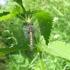 Raudonoji skėtė - Leucorrhinia rubicunda , patelė | Fotografijos autorius : Vytautas Uselis | © Macrogamta.lt | Šis tinklapis priklauso bendruomenei kuri domisi makro fotografija ir fotografuoja gyvąjį makro pasaulį.