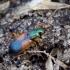 Raudonpetis žvitražygis - Anchomenus dorsalis | Fotografijos autorius : Romas Ferenca | © Macrogamta.lt | Šis tinklapis priklauso bendruomenei kuri domisi makro fotografija ir fotografuoja gyvąjį makro pasaulį.