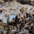 Raudonpetis kerpvabalis - Anisotoma humeralis | Fotografijos autorius : Kazimieras Martinaitis | © Macrogamta.lt | Šis tinklapis priklauso bendruomenei kuri domisi makro fotografija ir fotografuoja gyvąjį makro pasaulį.