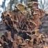 Raukšlinis ausiagrybis - Auricularia mesenterica | Fotografijos autorius : Vytautas Gluoksnis | © Macrogamta.lt | Šis tinklapis priklauso bendruomenei kuri domisi makro fotografija ir fotografuoja gyvąjį makro pasaulį.